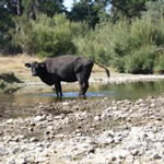 Cow pooing in river